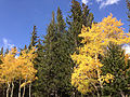 2014-09-15 15 26 24 Aspens showing autumn foliage amid Engelmann Spruces along the Alpine Lakes Trail in Great Basin National Park, Nevada.JPG