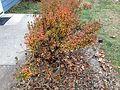 2014-12-20 13 16 31 Azalea cultivar 'Rosebud' during early winter along Terrace Boulevard in Ewing, New Jersey.JPG