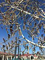 2015-03-27 15 47 04 Quaking Aspen catkins at Great Basin College in Elko, Nevada.JPG