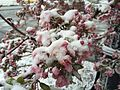 2015-04-08 07 43 41 A wet spring snow on Crabapple blossoms along Commercial Street in Elko, Nevada.jpg