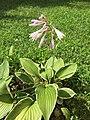 2015-08-04 16 07 11 Hosta flowering along Tranquility Court in the Franklin Farm section of Oak Hill, Virginia.jpg