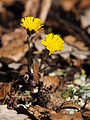 2015 Tussilago farfara in the forest 1.jpg
