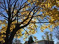 2016-11-18 11 51 04 Norway Maple displaying autumn foliage along Allness Lane between Dairy Lou Drive and Kinross Circle in the Chantilly Highlands section of Oak Hill, Fairfax County, Virginia.jpg