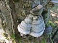 2017-07-28 (060) Fomes fomentarius (tinder fungus) at Haltgraben in Frankenfels near Schwabeck-Kreuz, Austria.jpg