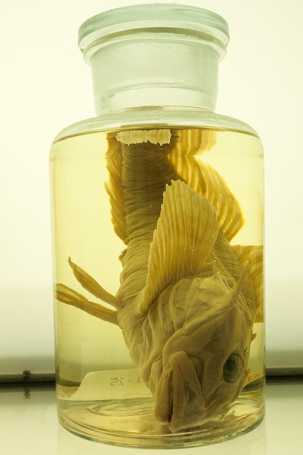 2018. Myoxocephalus octodecemspinosus (Mitchil 1814). Museo do Mar de Galicia