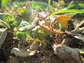 20190225Veronica hederifolia2.jpg