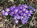 2020-02-24 13 01 20 A cluster of Crocus tommasinianus flower along Terrace Boulevard in the Parkway Village section of Ewing Township, Mercer County, New Jersey.jpg