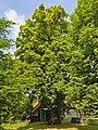 2020-07-18 ND Linde in Schlangen, NRW.jpg