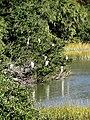 27 Egrets Beaufort SC 6409 (12367817243).jpg