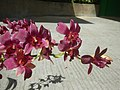 3905Orchids in the Philippines 07.jpg