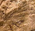 4420 Grand Canyon Fossil Bryozoan in Redwall Limestone (4749598980).jpg