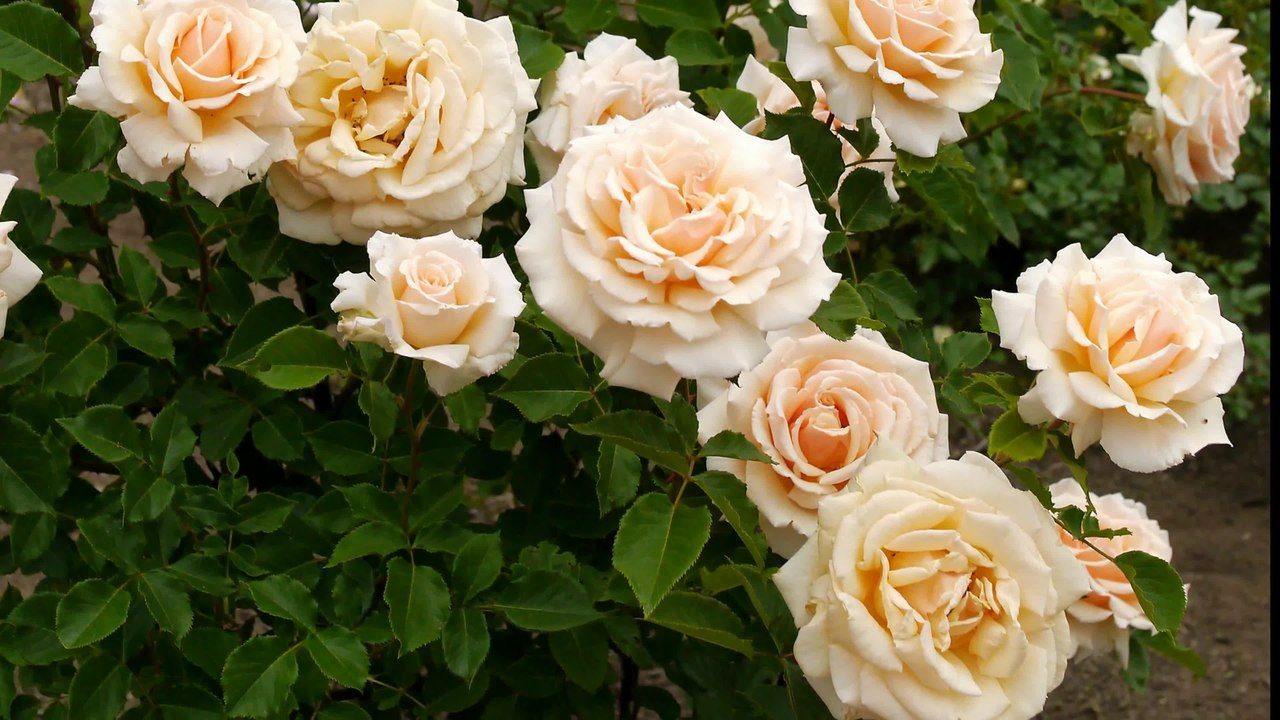 Beautiful Flowers Picture | Download Free Flowers Photos ...  |Beautiful White Rose Flowers