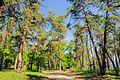 71-101-5006 Sosnivka Pines DSC 5973.jpg