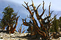 A348, Ancient Bristlecone Pine Forest, Inyo National Forest, California, USA, 2011.JPG