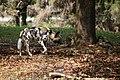 AFRICAN WILD DOG (13946441591).jpg