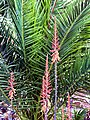 ALOE Fowers in front of a MEDITERANIAN PALM (40141916901).jpg