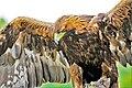 A Golden Eagle.jpg
