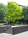 A beautiful Robinia tree beside the National Theatre - geograph.org.uk - 882272.jpg