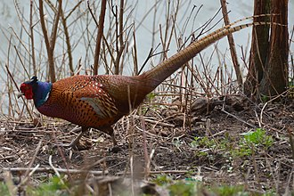 Phasianus - Image: A beutifull feazant in full glory searching food along the Rhine river panoramio