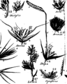 A botanical arrangement of British plants; including the uses of each species, in medicine, diet, rural oeconomy and the arts Fleuron T144691-13.png