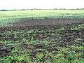 A crop of wheat - geograph.org.uk - 1390646.jpg
