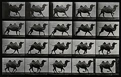 A double humpback camel running. Photogravure after Eadweard Wellcome V0048778.jpg