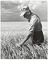 A farmer tests his grain before harvest in the Prairies (20692828829).jpg