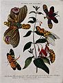 A flowering fuchsia (Fuchsia coccinea) and a planthopper ins Wellcome V0044306.jpg