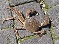 A krab the eriocheir sinensis.JPG