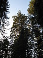 A late afternoon in Tuolumne Grove IMG 4194.jpg