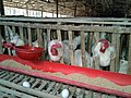 A local poultry farm in Ranhat.jpg