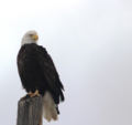 A lone Bald eagle (28015624393).png