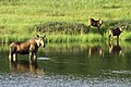 A moose and her calves in Denali (8991710c-ca62-4f35-b2a5-530909b44d1d).jpg
