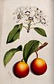A pear plant (Pyrus communis); flowering and fruiting stems. Wellcome V0044758.jpg