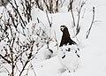 A ptarmigan amid early fall snow (ba5640c0-27db-4608-8e77-837c6d3ff884).jpg