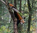 A red panda from the ZOO Ljubljana.jpg