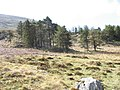 A small conifer plantation on a rocky knoll - geograph.org.uk - 397517.jpg