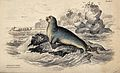 A small nailed seal (phocaleptonyx) sitting on a rock in the Wellcome V0020766.jpg