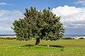 A tree in Akamas Peninsula, Cyprus.jpg