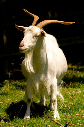 A white Irish goat with horns A white irish goat.jpg