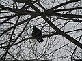 A young bird on the tree. Winter 2010. - Молодая птица на дереве. Зима 2010. - panoramio.jpg