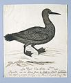 Aalscholver (Phalacrocorax capensis) of zeeduiker.jpeg
