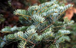 meaning of fir