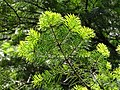 Abies pindrow India30.jpg