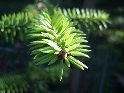 Abies recurvata bud foliage.JPG