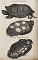 Above, an Indian tortoise; middle, a variegated tortoise; be Wellcome V0021225.jpg