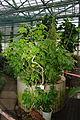 Abutilon sellowianum, Grishko botanical garden (Kiev) 01.jpg