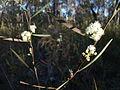 Acacia (3115059761).jpg