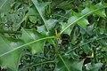 Acanthus ilicifolius kz01.jpg