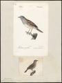 Accentor modularis - 1700-1880 - Print - Iconographia Zoologica - Special Collections University of Amsterdam - UBA01 IZ16200234.tif